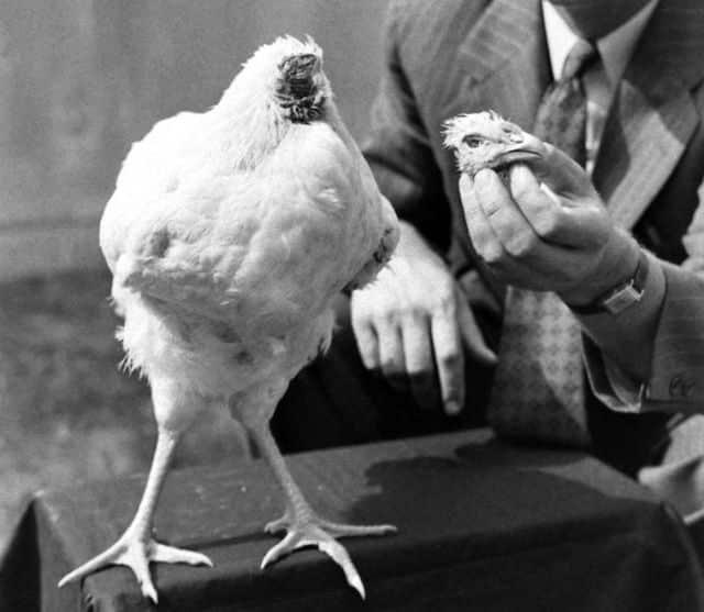 """عاشت 18 شهرا دون رأس.. الحالة الغامضة لـ""""الدجاجة مايك""""!"""