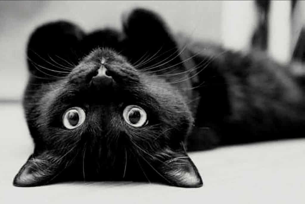 القطط السوداء من التقديس إلى التشاؤم