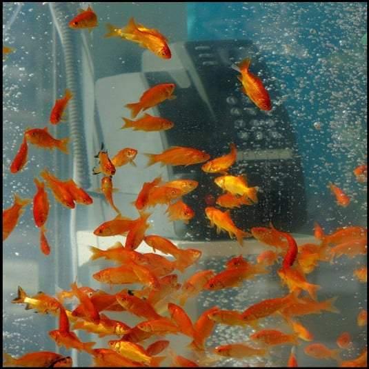 في كوكب اليابان كابينة الهاتف حوض للأسماك الذهبية!