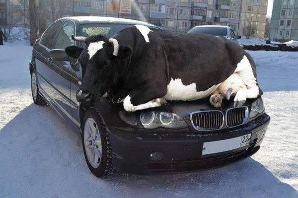 بقرة فوق السيارة.. حقيقة أم فوتوشوب؟