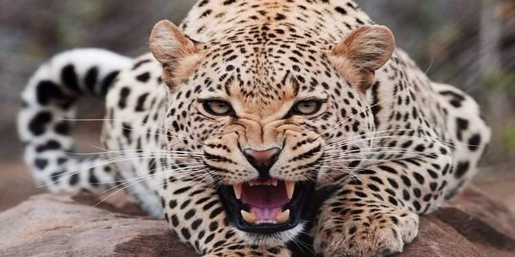 الفهود البرية.. 5 أنواع مهددة بالانقراض
