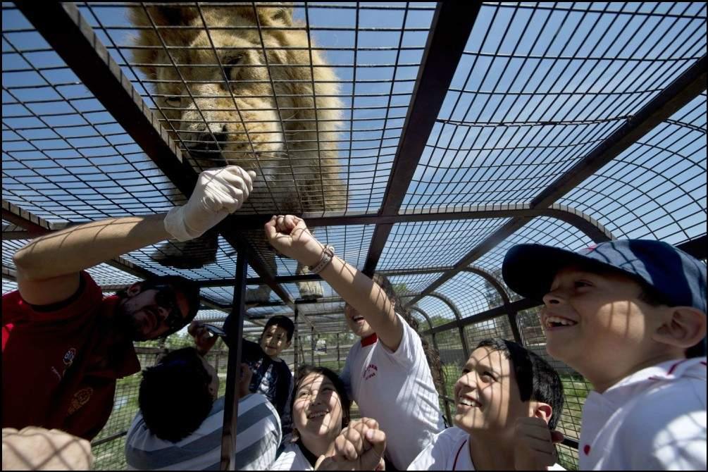 حديقة حيوان مثيرة.. تشهد تبادل أدوار مرعب بين الأسود والبشر