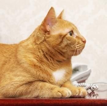 """""""تومي"""".. القط البطل الذي أنقذ صاحبه من الموت باتصال هاتفي"""