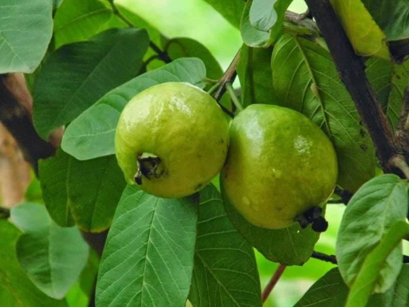 أوراق الجوافة.. سلاح فعال في مواجهة تساقط الشعر