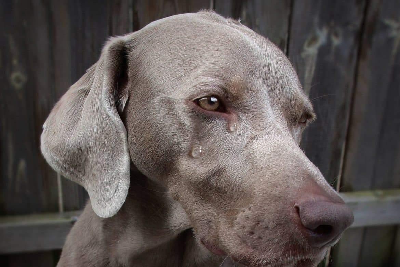 سر دموع الكلاب.. هل تبكي الكلاب حزنا؟