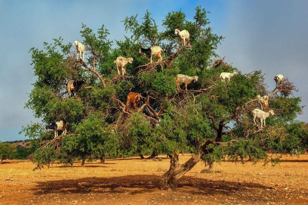 الأمم المتحدة تستعد لاعتماد مشروع قرار بإحداث يوم عالمي لشجرة أركان
