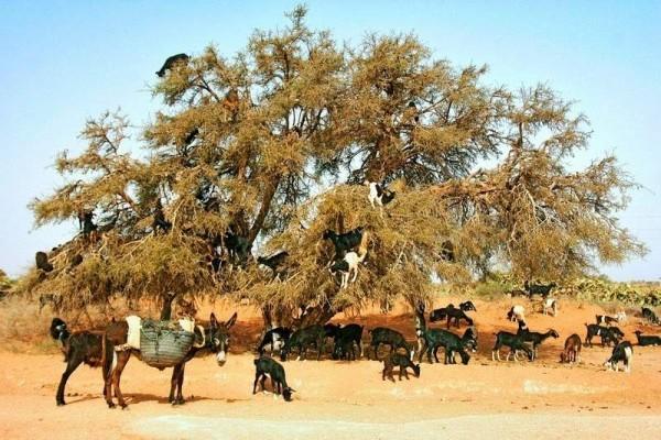 ماذا تفعل الماعز فوق قمم أشجار الأركان؟ 1