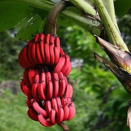 الموز الأحمر.. سعرات منخفضة وفوائد مذهلة