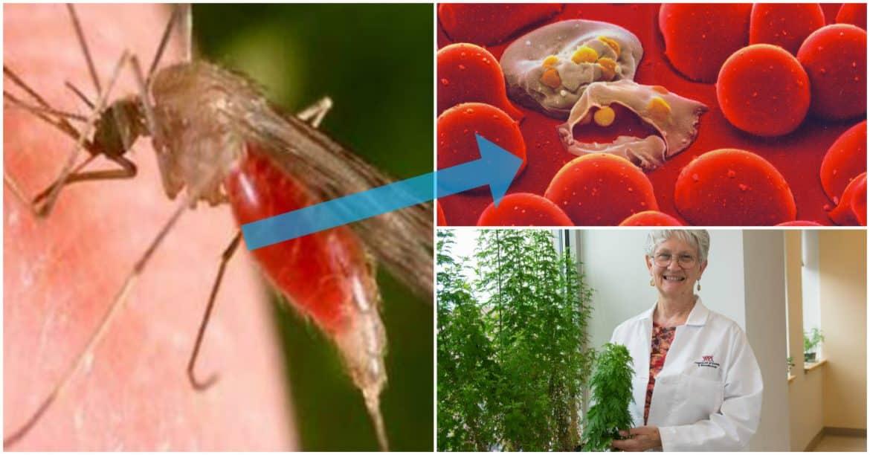 اكتشاف طبي مذهل: علاج الملاريا بأوراق الشجر!