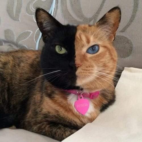 تعرف على القطة فينوس.. القطة ذات الوجهين