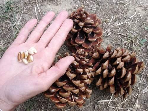 7 فوائد صحية لحبوب الصنوبر