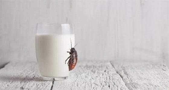 حليب الصراصير.. أكثر فائدة من منتجات الأبقار!