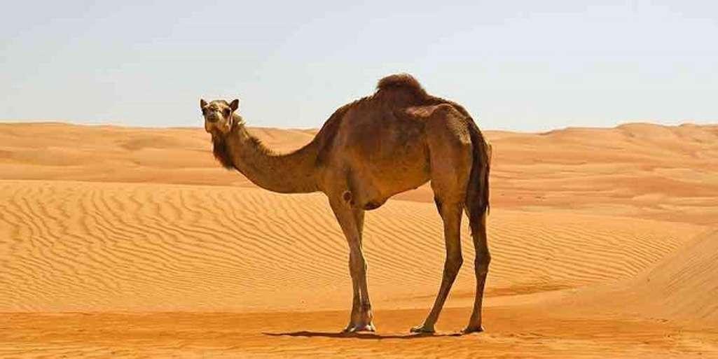 الجمل.. أسرار إلهية لتحمل حرارة الصحراء وانعدام الماء
