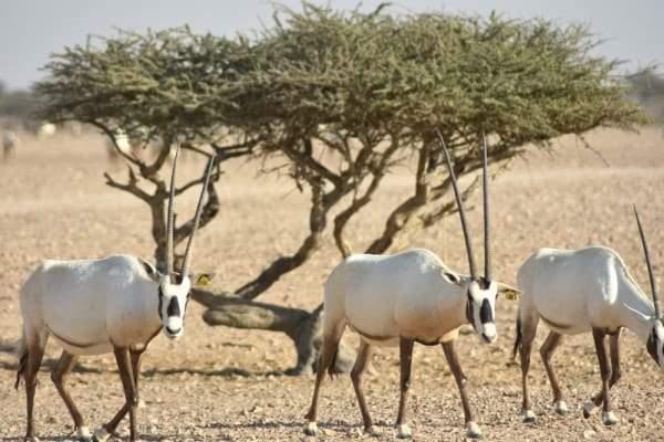 حيوان المها العربي
