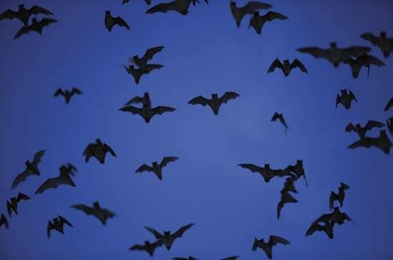 «ليست عمياء ويصنع منها البارود».. 4 معلومات مذهلة عن الخفافيش