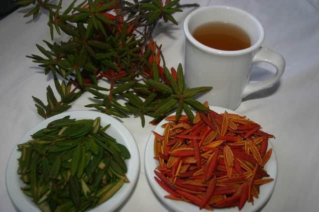 لبرادور.. الشاي الفريد متعدد الفوائد