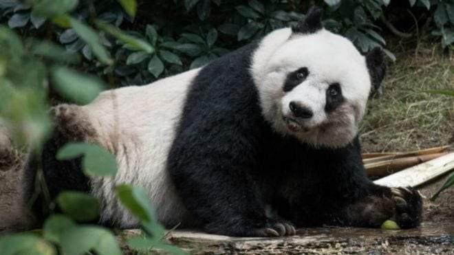 كسول ومعرض للانقراض.. معلومات مذهلة عن دب الباندا