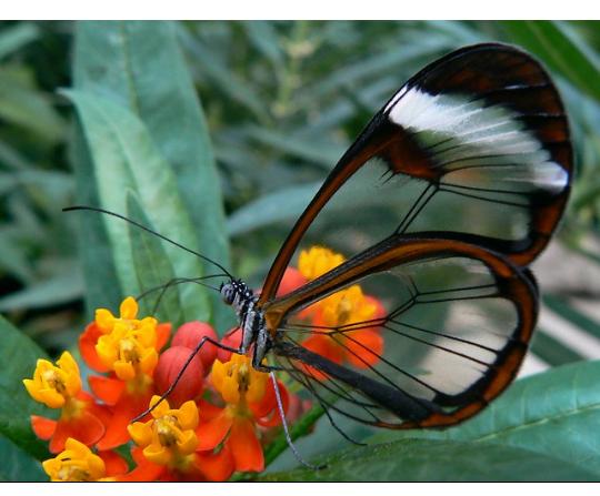 الفراشة الزجاجية أو الفراشة الشفافة من عجائب الطبيعة