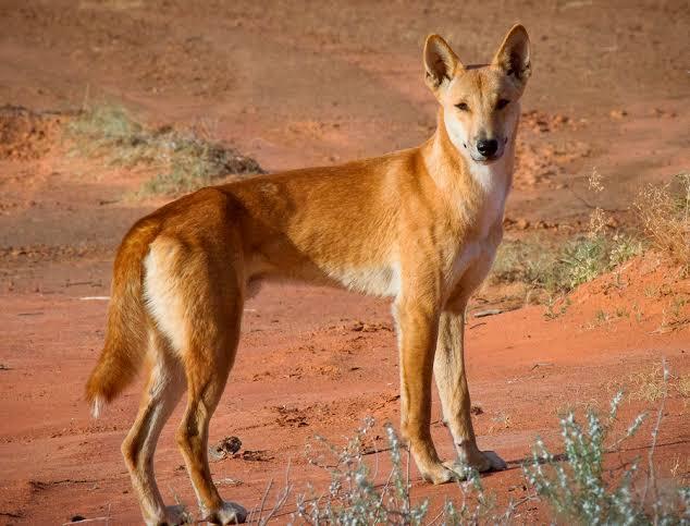 كلاب الدنجو.. المفترس الأقوى في أستراليا
