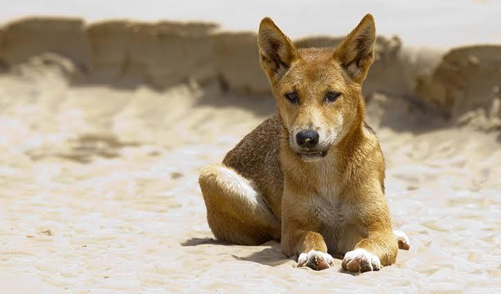 كلاب الدنجو.. المفترس الأقوى في أستراليا 2