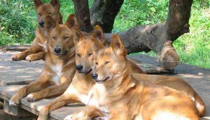 كلاب الدنجو.. المفترس الأقوى في أستراليا 3