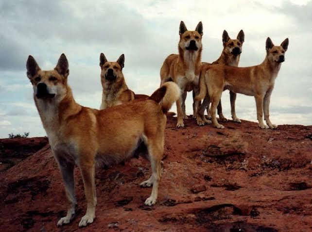 كلاب الدنجو.. المفترس الأقوى في أستراليا 5